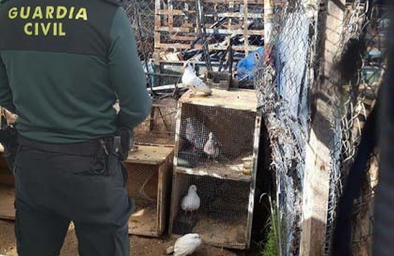 La Guardia Civil recupera 35 palomas que fueron sustraídas de un palomar en la localidad de Cartaya