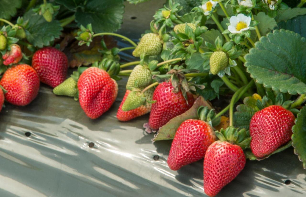 La recogida de la fresa en tiempos del COVID19