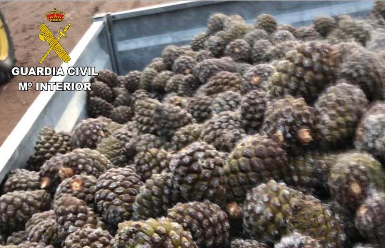 La Guardia Civil interviene una gran cantidad de piñas de pino piñonero en Lepe
