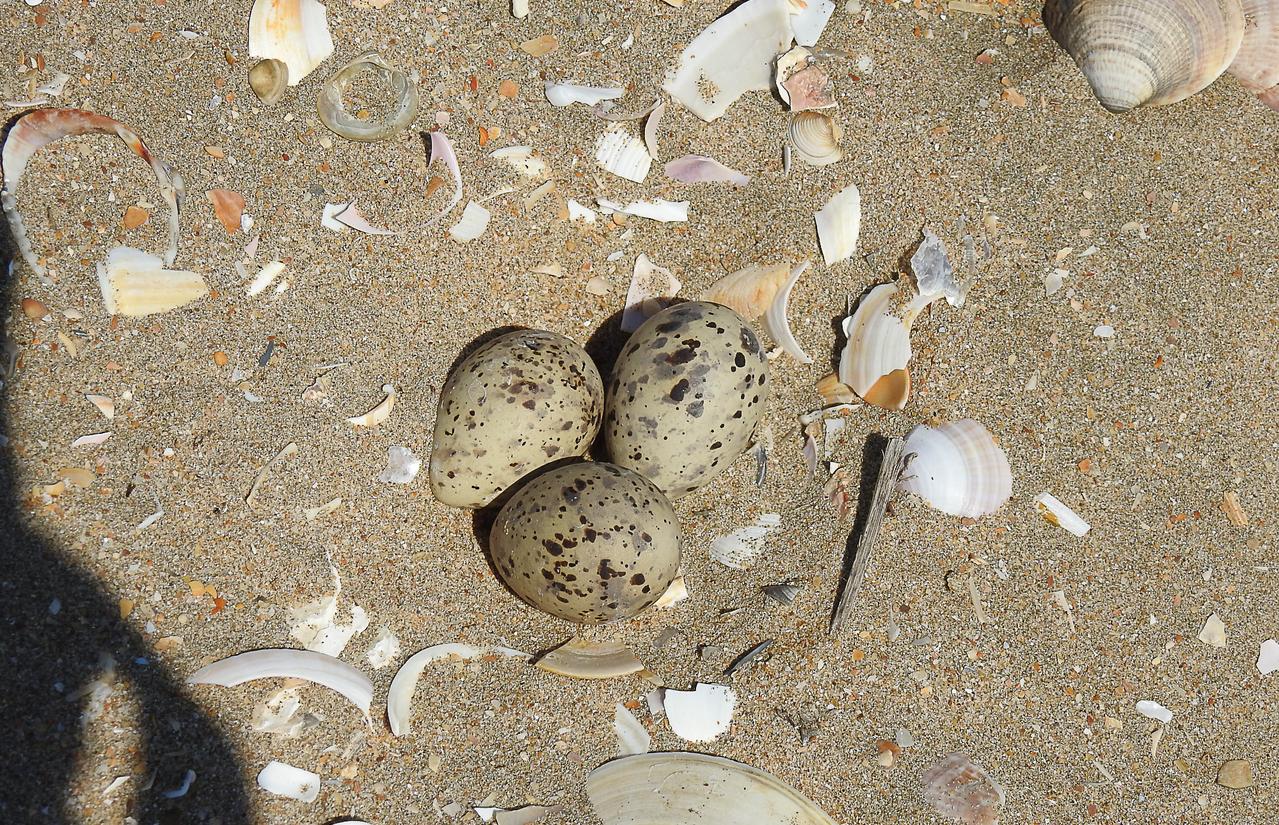 Lepe se une al programa «Nidos en la Arena» para la conservación y protección de las aves costeras nidificantes